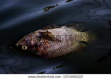 Dead fish environmental problems . Oil and other trash on river . stock photo