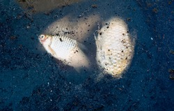 dead fish floated in the dark water, water pollution.dead, poisoned fish lies in the river bank. Environmental pollution. The impact of toxic emissions in the aquatic environment on earth.