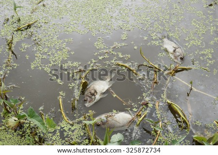 Dead fish floated in the waste water.Water pollution concept.