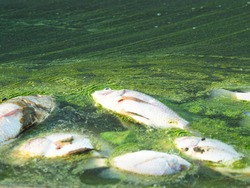 Dead fish floating in algae bloom.Water pollution