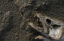 Dead fish head on the beach