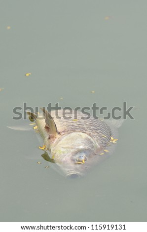 dead fish in polluted river
