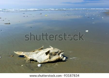 Dead fish on a beach on the Pacific coast of Ecuador