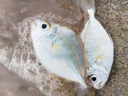 Dead fishs on the beach