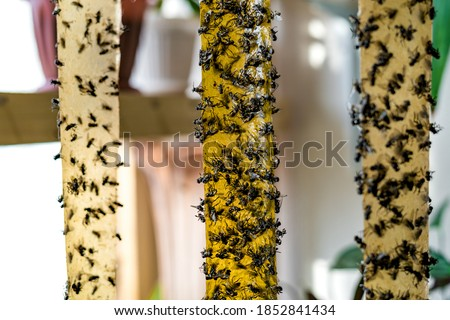 Dead Flies On Sticky Tapes. Flypaper, sticky tape. Trap for flies, insects. Flies stuckTrap for insects insects. Lot of flies stuck to the yellow sticky tapes. Selective focus. Focus on the middle Photo stock ©