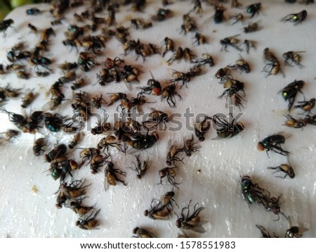 Dead flies waiting on the glue trap and finally died slowly