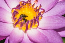 Dead fly insect in lotus flower