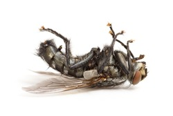 dead fly isolated on a white background