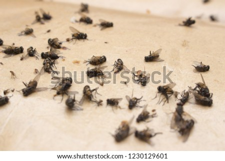 Dead fly on adhesive trap paper
