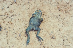 Dead frog on the ground.Animal life concept.