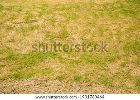 Dead grass of the nature background. a patch is caused by the destruction of fungus Rhizoctonia Solani grass leaf change from green to dead brown in a circle lawn texture background dead dry grass.