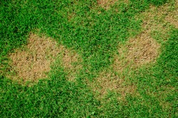 Dead grass top view wallpaper nature background texture Green and  brown patch grass texture the lack of lawn care and maintenance until the damage pests fungus and disease field in bad condition.