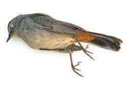 Dead Gray Catbird (Dumetella carolinensis)