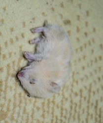 Dead hamster lying on the carpet. The dead home rodent hamster.