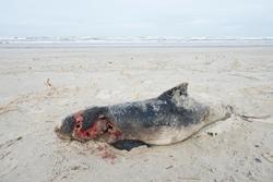 Dead harbor porpoise (Phocoena phocoena) washed ashore on the beach, stranded, Langeoog, East Frisia, Lower Saxony, Germany