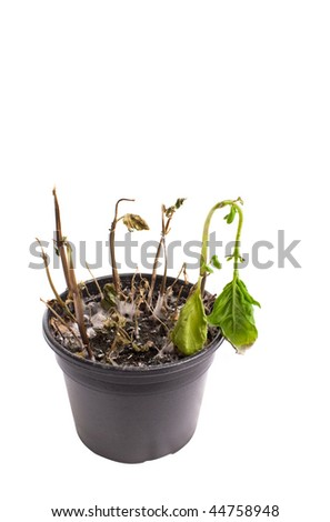 Dead home plant in a pot, isolated on white