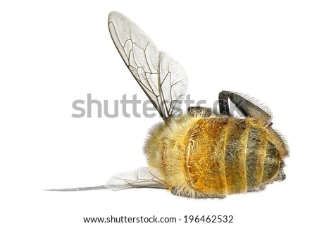 Dead honey bee isolated on the white background