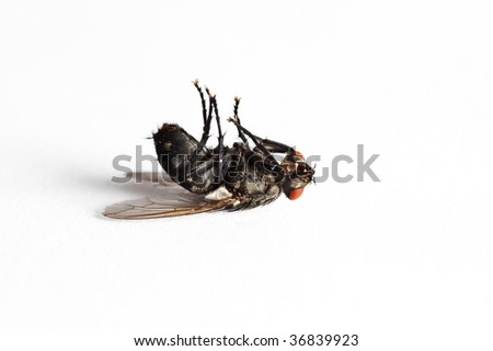 Dead house fly (Muscidae Domestica), macro on white background