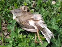 Dead House Sparrow. Dead young bird. Crashed chick. Stretch your legs. Dead animal on a green city lawn. Bird flu. Extinction of birds