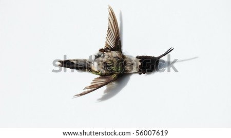 dead hummingbird on white