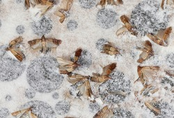 dead Indianmeal moths on the pheromone bait with powerful adhesive to capture harmful pest