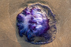 Dead Jelly fish in sand, sea jellies, medusa-phase of gelatinous members of the subphylum Medusozoa, a major part of the phylum Cnidaria, free-swimming marine animals