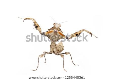 Dead leaf mantis Deroplatys lobata at agressive pose isolated on white background