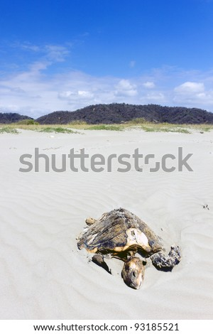 Dead loggerhead turtle on a beach on the Pacific coast of Ecuador.