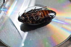 Dead Madagascar hissing cockroach on a cd-rom