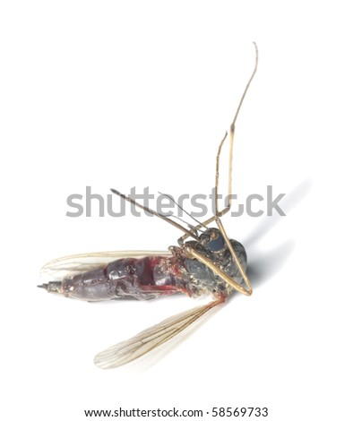 Dead mosquito filled with human blood.