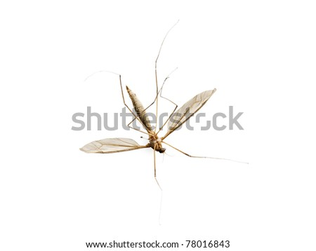 Dead mosquito isolated on white background