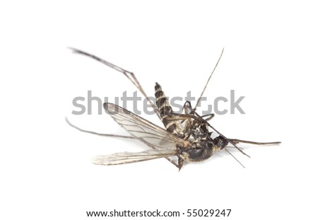 Dead mosquito isolated on white background. Extreme close-up.