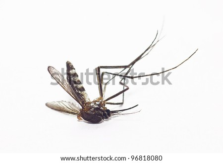 dead mosquito on isolated whited background - stock photo