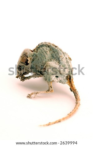 Dead mouse 3 - stock photo