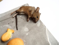Dead mouse on glue. Mousetrap for domestic rodents. A gray mouse or rat lies bogged down in a sticky solution. Prevention of contagious diseases and food spoilage. Catching mice.