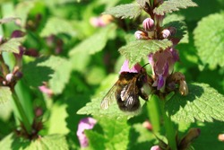 dead nettles and a bumblebee