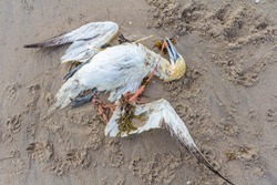 dead northern gannet trapped in plastic fishing net washed ashore on Kijkduin beach The Hague