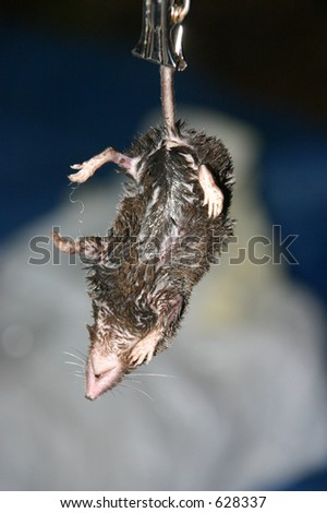 Dead Northern short-tailed shrew (Blarina brevicauda) being weighed