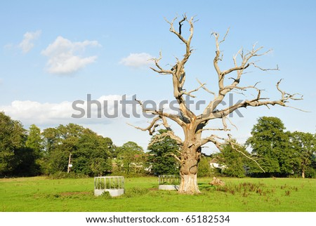 Dead Oak Tree in a Green Field