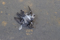 Dead Pigeon Bird Due to Environment Pollution or Scorching Heat Lying on Road