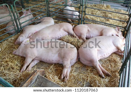 Dead Pigs in Parlor at Farm Pandemic Influenza Problem #1120187063