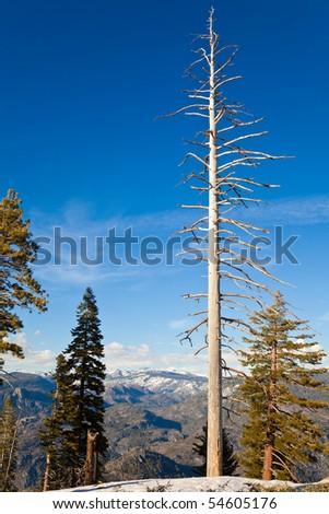 Dead Pine Tree at Smith Peak in Yosemite National Park, California. - stock photo