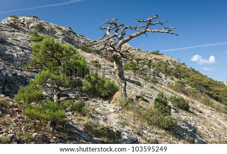 Dead pine tree branches over blue sky