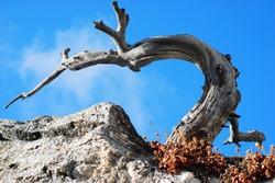 Dead pine tree growing out of granite rock.