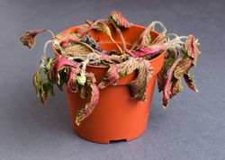 Dead plant in a pot. Fittonia. On a gray background. Close up