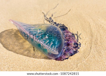 Dead Portuguese man o' war jellyfish (Physalia physalis) washed up lying on a sandy shore beach. Bluebottle on the sand in Playas del Este, Cuba #1087242815