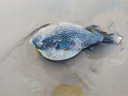Dead puff fish found on sea beach,  Marine life concept background, fish in sand beach, human threat to marine life, Aquatic life in danger concept background.