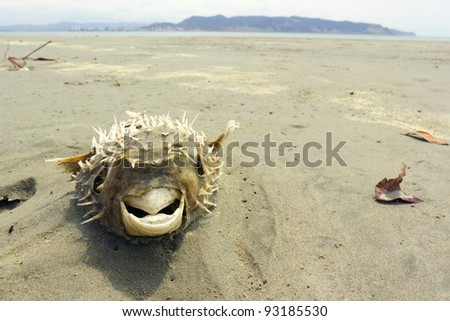 Dead pufferfish on a beach on the Pacific coast of Ecuador - stock photo