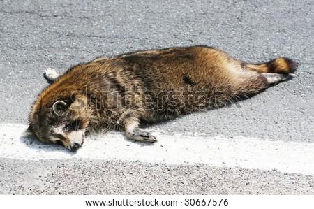 dead raccoon on street