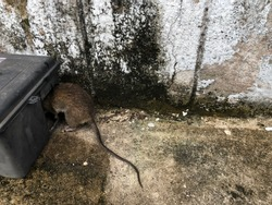 dead rat and black plastic rat bait poison box used to control vermin and mice by pest control services